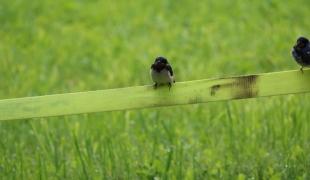 Vögel am Zaun (1)
