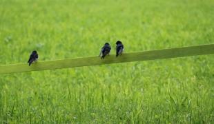 Vögel am Zaun (2)