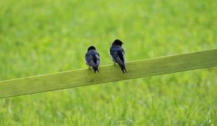 Vögel am Zaun (3)